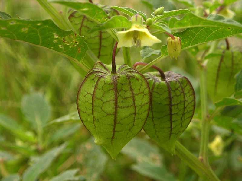 Ceplukan Physalis Angulata Yang Kaya Manfaat Berita