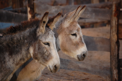 mammoth donkeys for sale ky wv