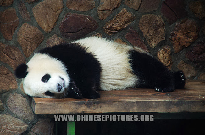 Sleeping Chinese Panda 2013