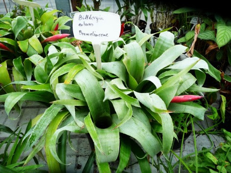 Bilbergia zwisła - Bilbergia nutans