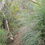 Bushtrack around grass tree (79501)