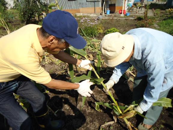 収穫後の作業