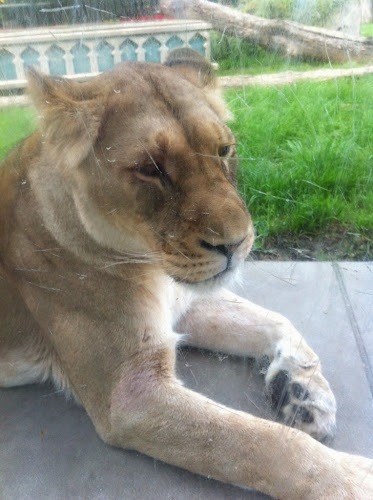 Bellewaerde lionne