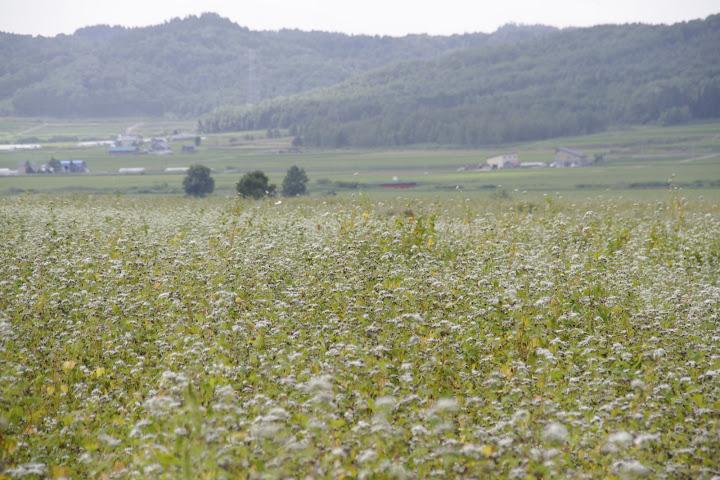 北竜町のそば栽培