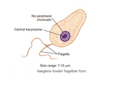 Naegleria fowleri flagellate form