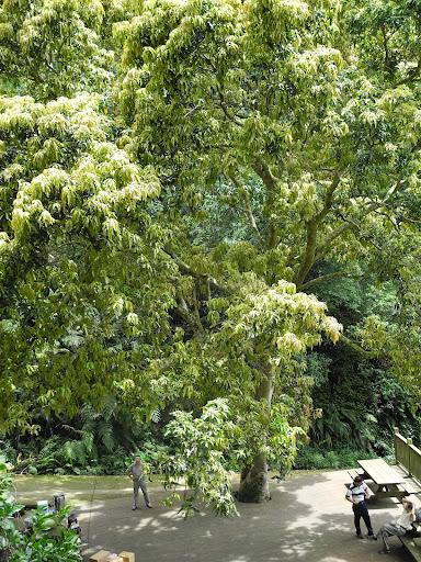 新竹縣芎林的芒果樹高齡99歲,因為開路的關係,被切掉一半的根系,所幸適應良好,經過樹醫師的診斷,只是有點「憂傷」。