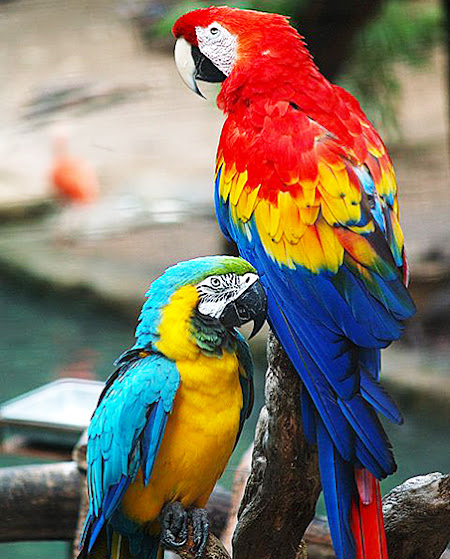 papagali Vreau papagal