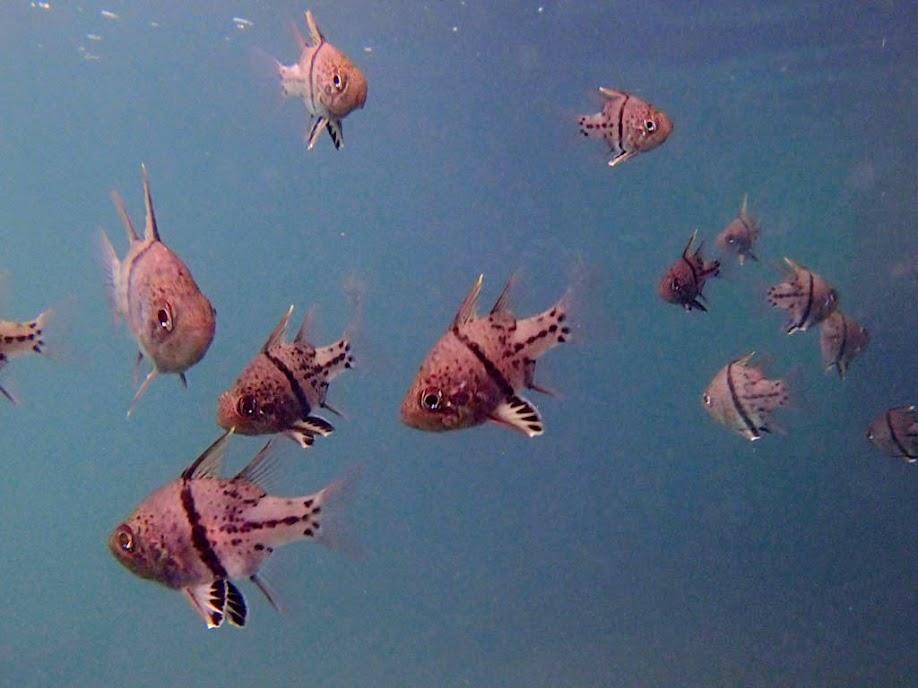 Sphaeramia orbicularis (Orbiculate Cardinalfish) at the resort resturant at Chindonan Island, Palawan. Philippines.