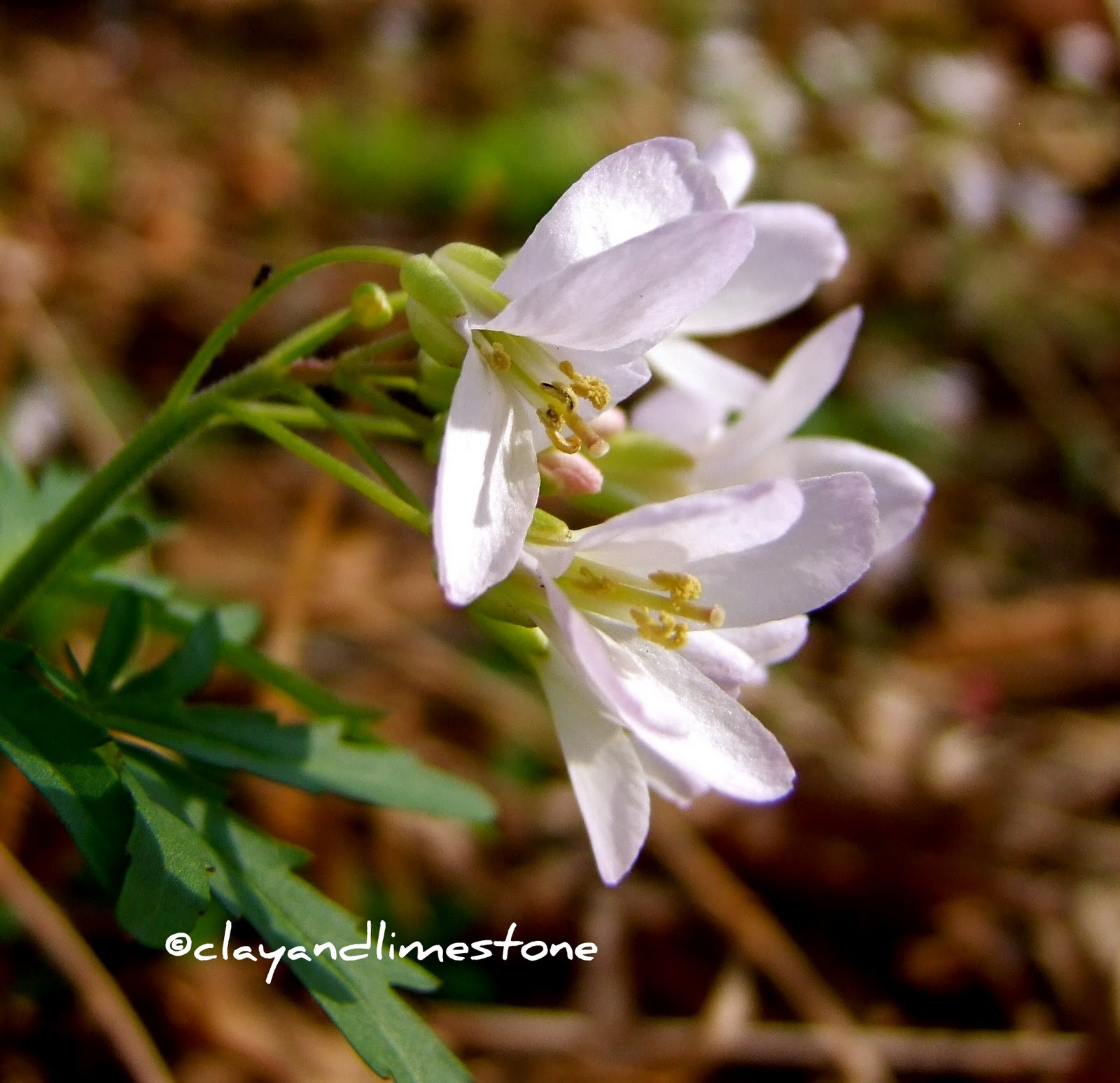 clay and limestone: PSST.... Garden Bloggers! It\'s Bloom Day March 2011