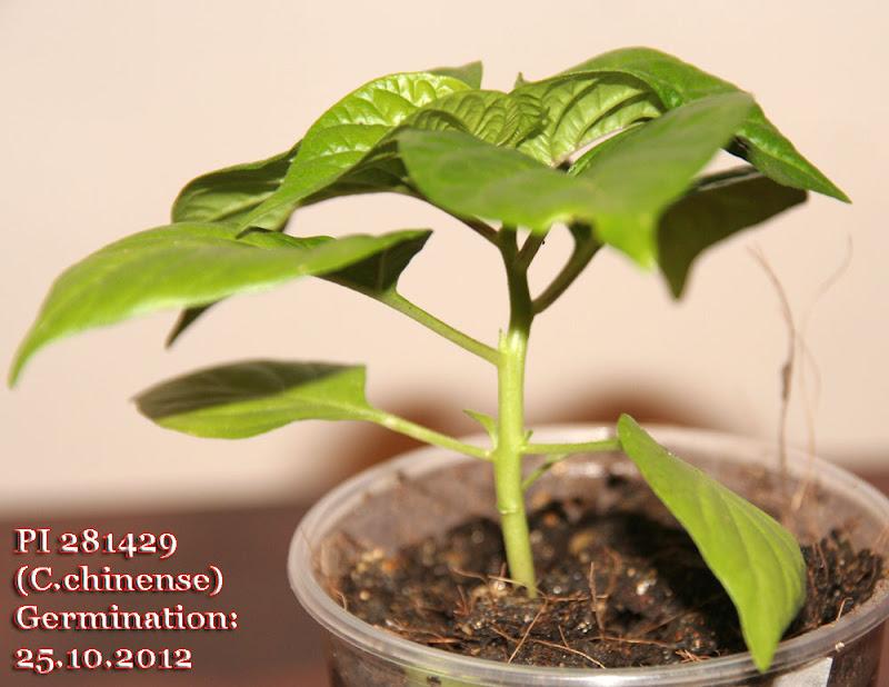 PI281429_42days_seedling.jpg