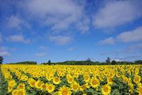 真っ青な空と黄色いひまわり
