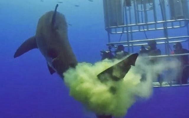 le requin défèque sur les plongeurs