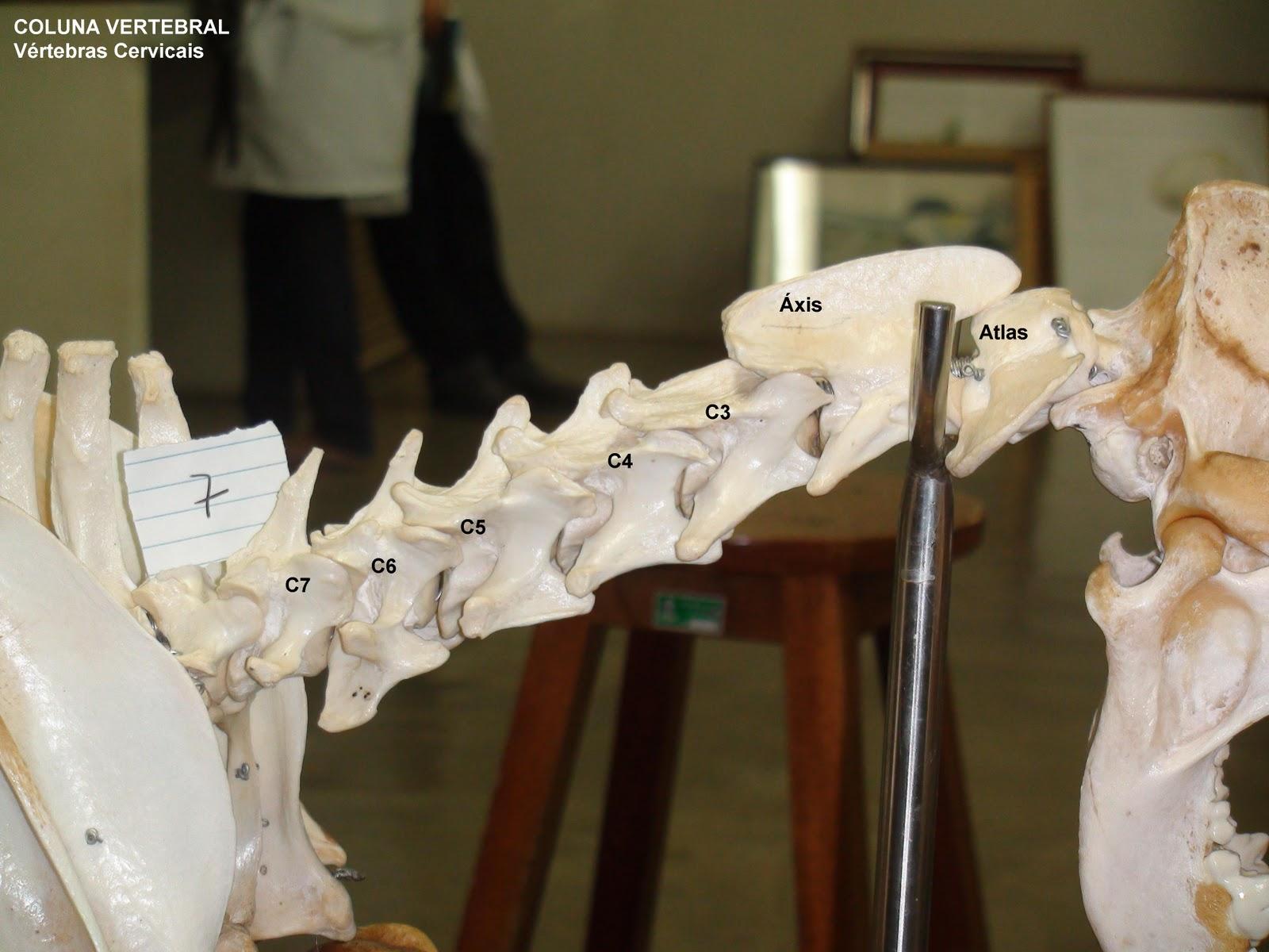 Anatomia Descritiva dos Animais Domésticos: Osteologia 2