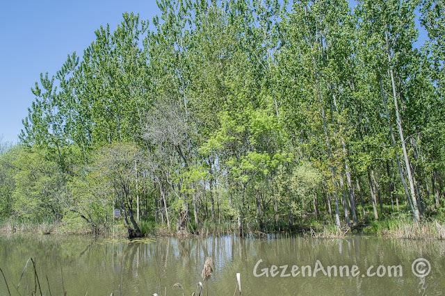 Sakarya Karasu'daki Acarlar Longozu'nda suyun içindeki ağaçlar