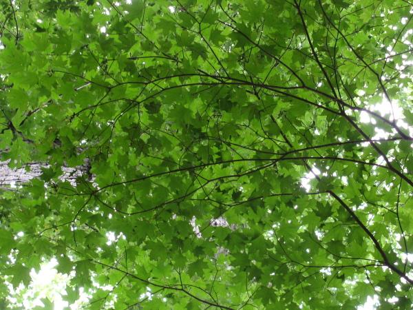 interlocking leaves seen from below, bits of sky peeking through