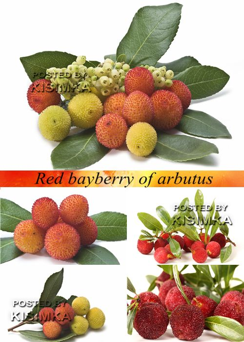 Stock Photo: Red bayberry of arbutus