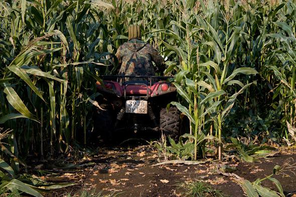 квадроцикл штурмует кукурузу
