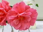 濃いオーキッドピンク 大輪・極大輪 セミダブル〜ゆるい牡丹咲き