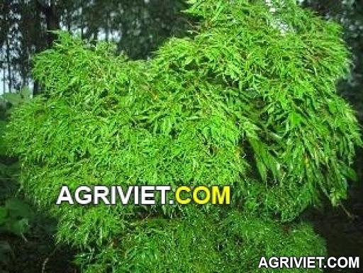 Agriviet.Com-54cc2f224e54a.jpg