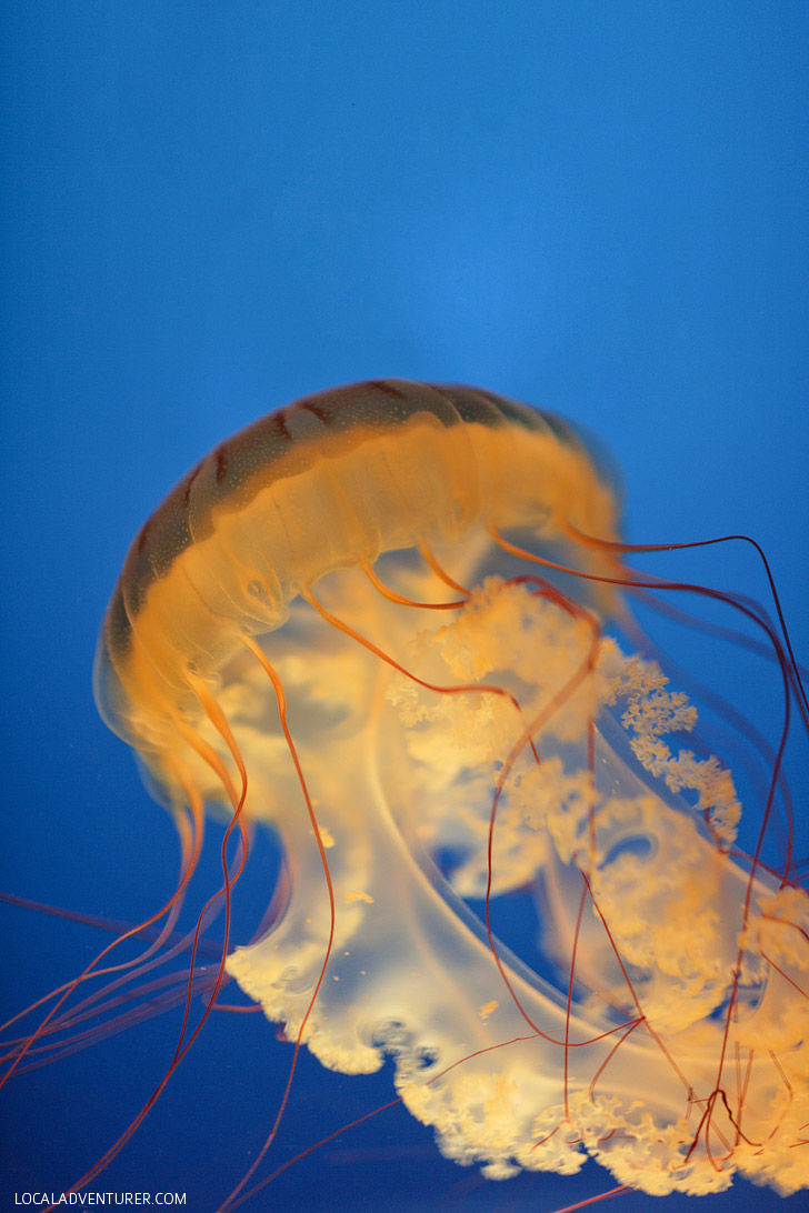 South American Sea Nettles (13 Remarkable Species of Jellyfish at the Monterey Aquarium).