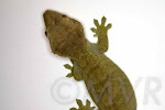 Adult Female Olive Crested Gecko from moonvalleyreptiles.com