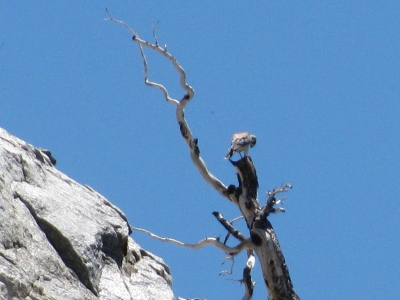 small hawk on dead tree, as is their way