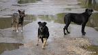Suņu trijotne lietū. Viņi ļoti naski reaģēja uz uzsvilpienu, bet pirms tam pie veikala «Daugavgrīva» grauza labdaru pamestos kaulus.