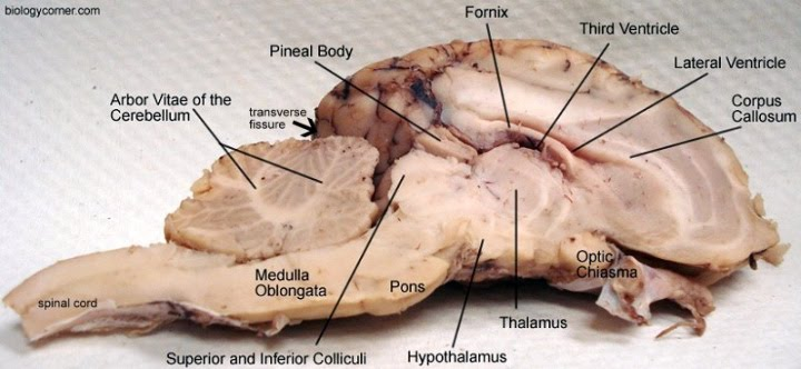 Review: The Sheep Brain Dissection Guide