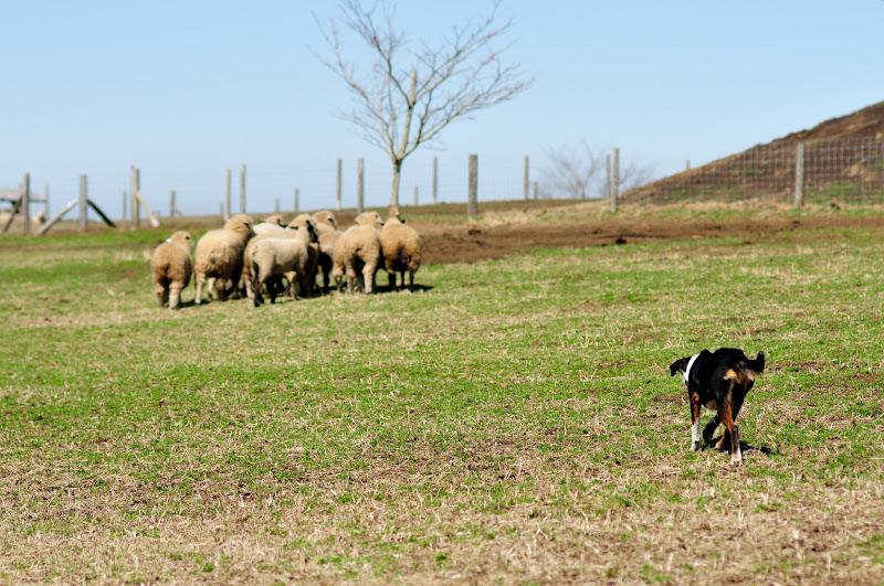 koira ja lampaat