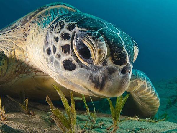 Зеленая морская черепаха, Красное море