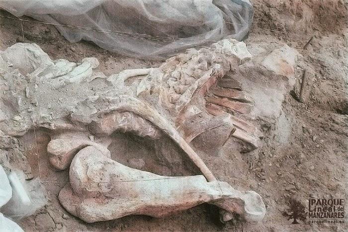 En Áridos 2 los restos del elefante permanecían en conexión anatómica. En la imagen se aprecian las costillas izquierdas rotas por la pala excavadora. Fuente M. Santonja y A. Querol.