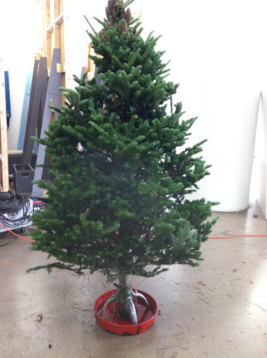 Our beautiful Concolor Fir from Simonson Farms.