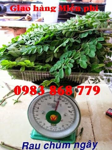 Kỹ thuật gieo ươm và chăm sóc cây Chùm ngây ( Moringa )