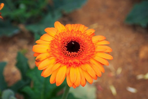 bunga daisy oren