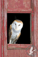 This barn owl is an education ambassador for SOAR - Saving Our Avian Resources.  He is sitting in a window of what could be an appropriate nest barn.