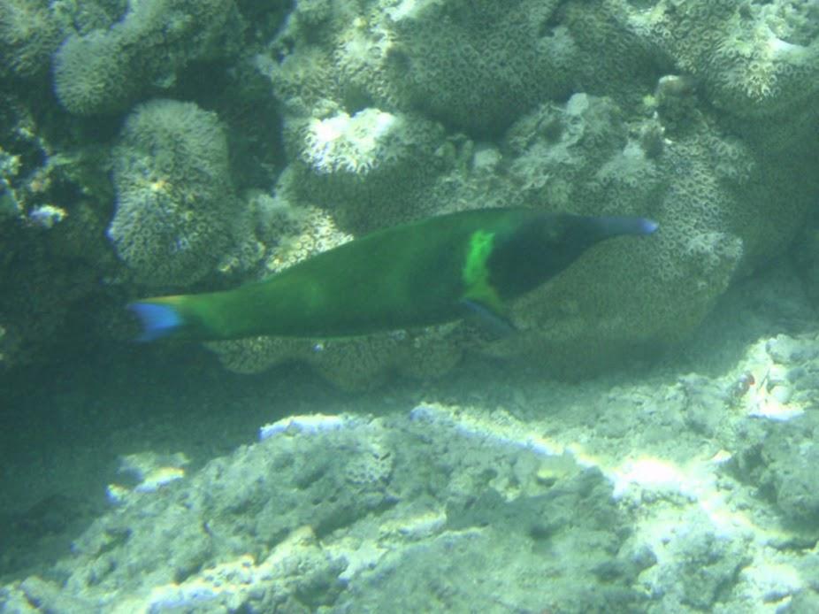 Gomphosus varius (Bird Wrasse), Aitutaki.