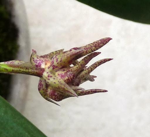 bulbophyllum annamense P1360922