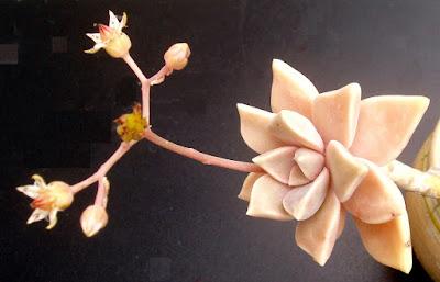 Graptopetalum paraguayense Graptopetalum%252520paraguayense