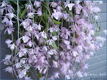 天宮石斛蘭又稱瀑布蘭 Dendrobium aphyllum