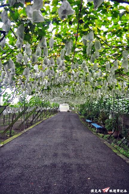 路葡萄酒莊葡萄隧道