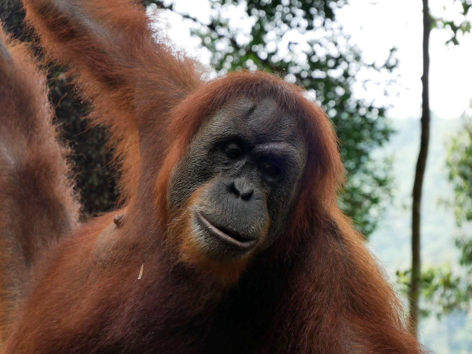 orangutan en el trekking de bukit lawang