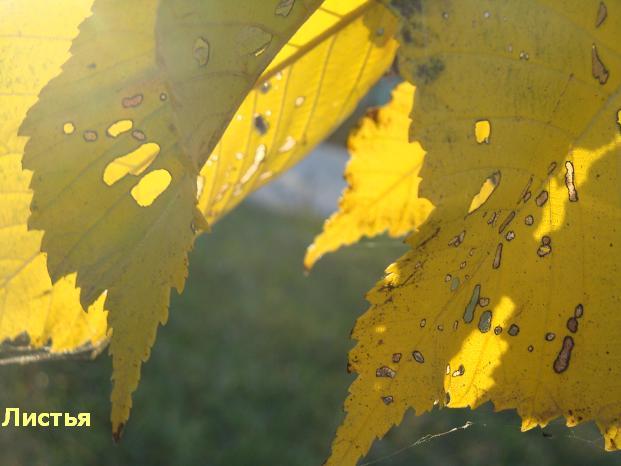 осенние цвета - желтый
