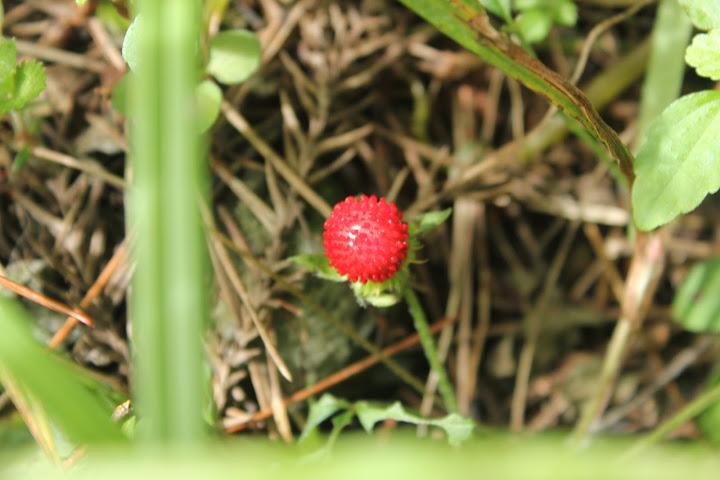 这是蛇莓,似乎只有蛇会去吃,对人来说应该有毒吧