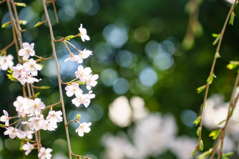 増上寺 桜 写真 6
