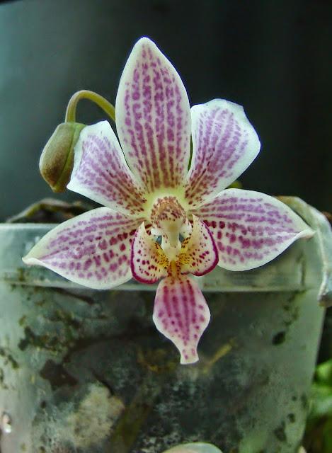 Phalaenopsis Alyos DSC01815