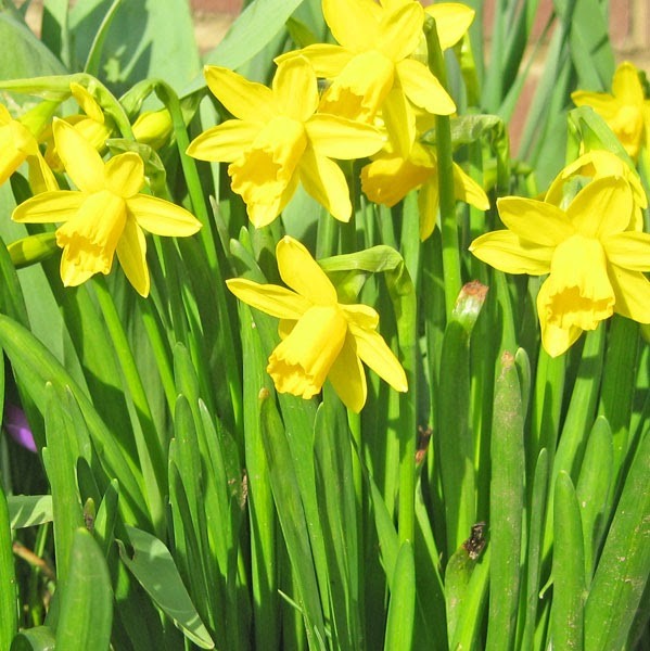 daffodils by ted hughes Ted hughes, a poet who has encountered death over and over, he wrote daffodils for his deceased wife this poem talks strictly about daffodil flowers and the.