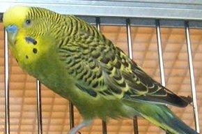 warna dan mutasi budgie southernbirds