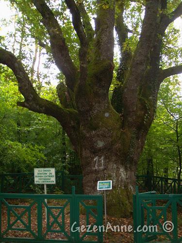 Bolu'daki Koru Otel'in bahçesinde Atatürk'ün fotoğraf çektirdiği ağaç