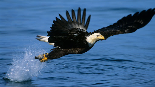 Eagle Fishing, Kenai Peninsula, Alaska.jpg