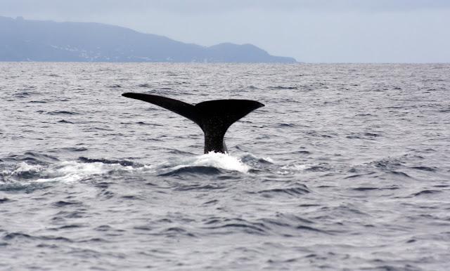 Esses magnificos Cetacios -  Cachalotes - Golfinhos etc IMG_3497a
